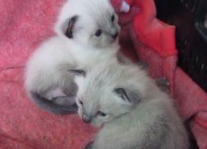 Como-cuidar-un-gato-bebe