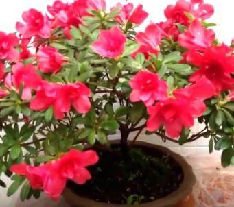 Cuidados de la azalea una planta para interior o exterior - Azalea cuidados planta ...