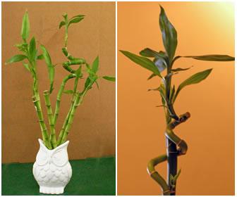 bambu cuidados basicos