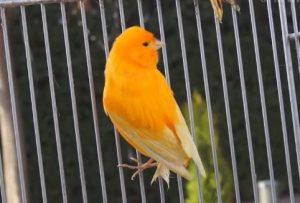 como cuidar canarios