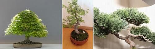 cuidado de bonsai