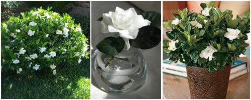 cuidado de gardenias