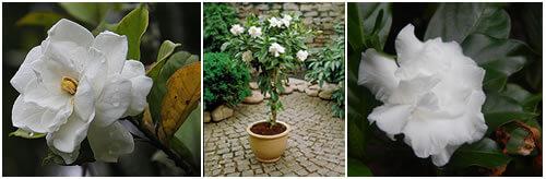cuidado de las gardenias