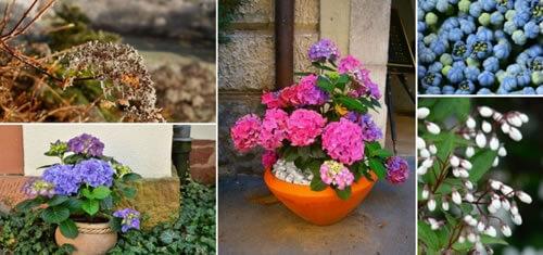 Cuidados b sicos de las hortensias cuidados - Cuando podar las hortensias ...