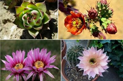 cuidado-de-los-cactus