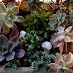 cuidado de plantas suculentas