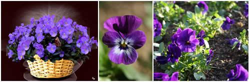 cuidado de violetas