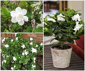 cuidados de la gardenia