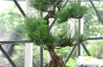 cuidados de los bonsai