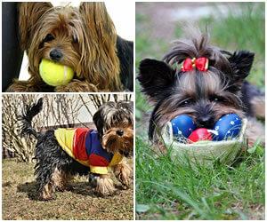 yorkshire terrier cuidados
