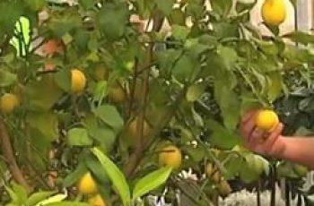 cuidados de un limonero