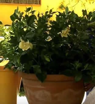 cuidados de una gardenia