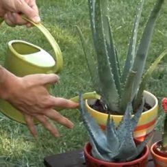 cuidados-del-cactus