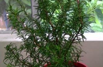 planta de romero cuidados