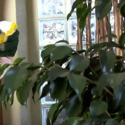 planta ficus caracteristicas