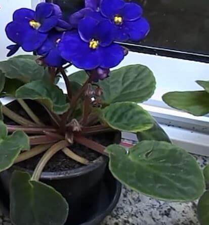 violetas cuidados